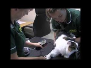 Embedded thumbnail for Blood Pressure Monitoring in a Cat